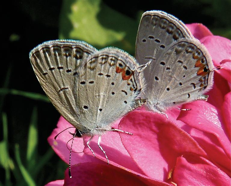 Eastern Tailed-blue Butterflies Zinnia elegans