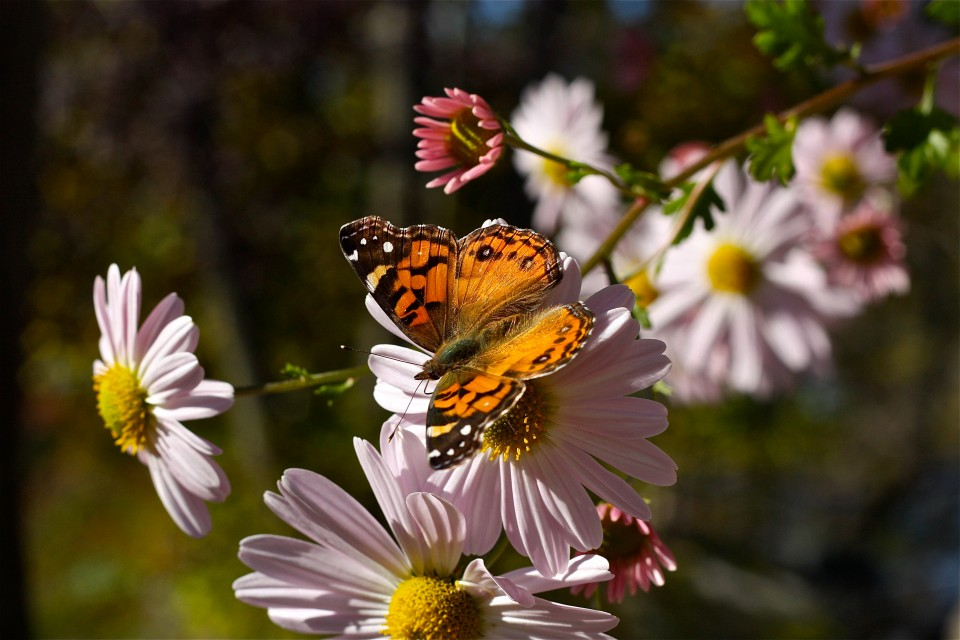 American Lady Butterfly Nectaring at Korean Daisy