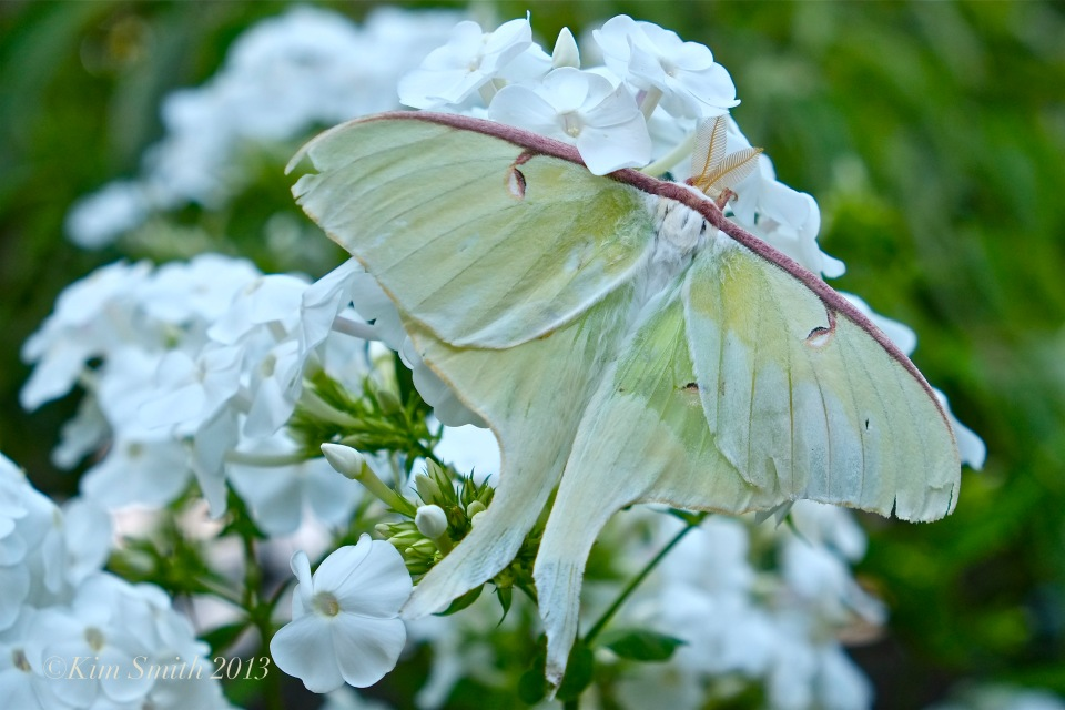 Luna Moth ©Kim Smith 2013