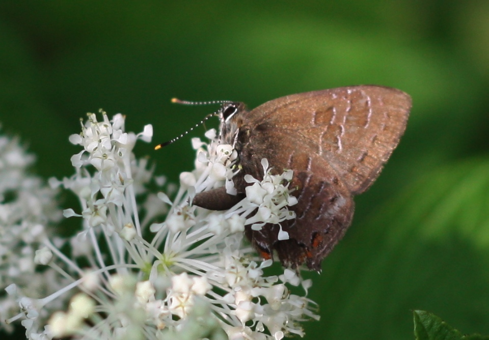 Female Hairstreak native New Jersey Tea