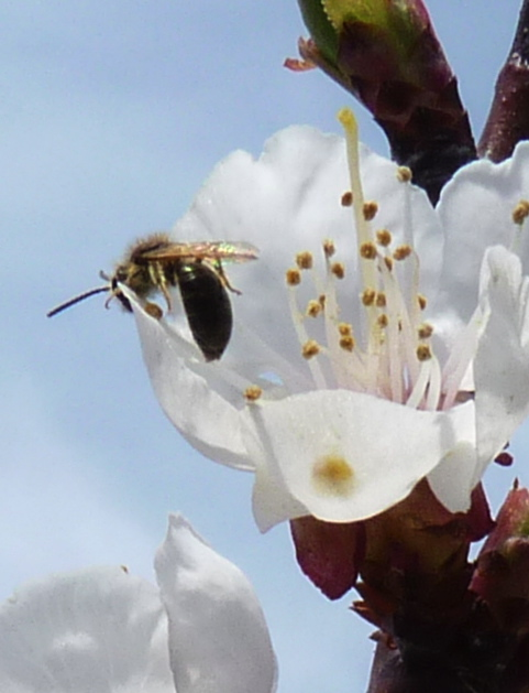 Apricot blossom native bee