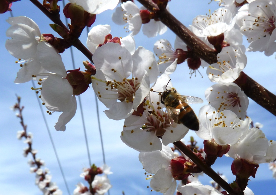 Apricot tree Native bee