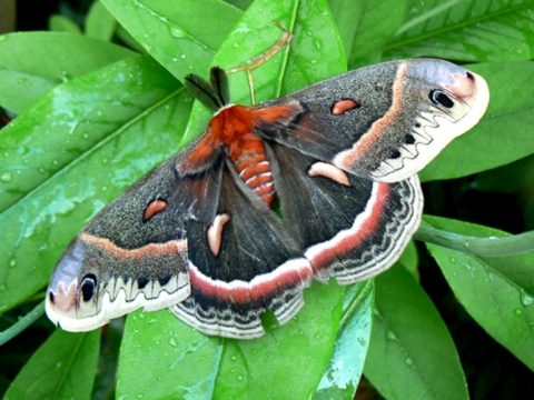 Cecropia Moth (male) on Sweetbay Magnolia virginiana