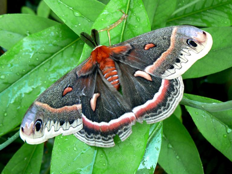 Cecropia Moth (male) on Sweetbay Magnolia virginiana