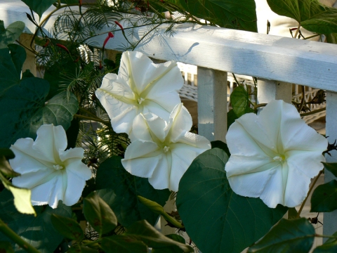 Moon Vine, Moonflowers (Ipomoea alba)