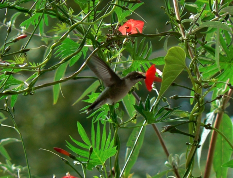 Ruby-throated Hummingbird and Cardinal Climber, Cypress Vine Ipomoea x multifida