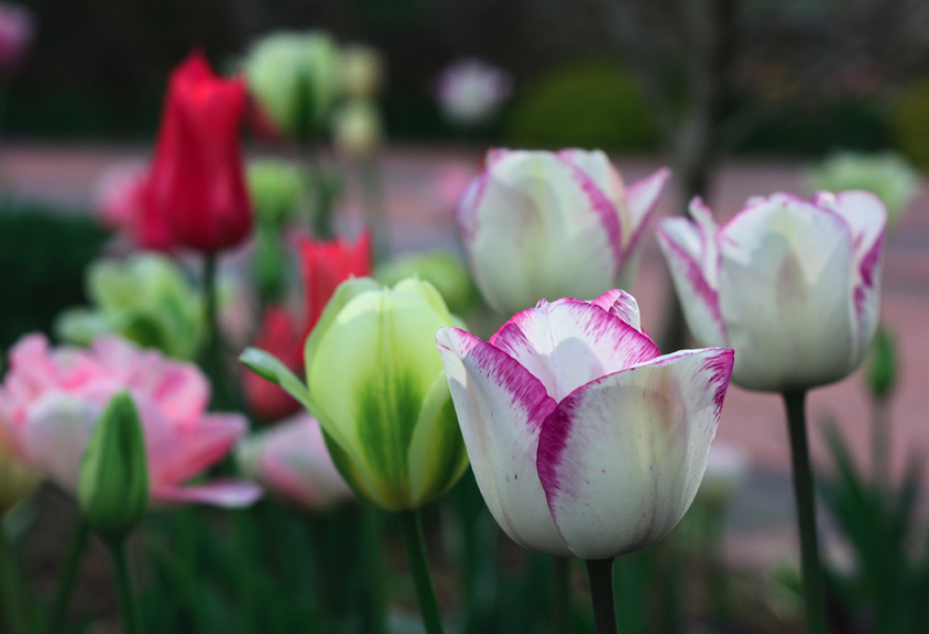 Tulips Blooming at Willowdale Estate Topsfield Massachusetts