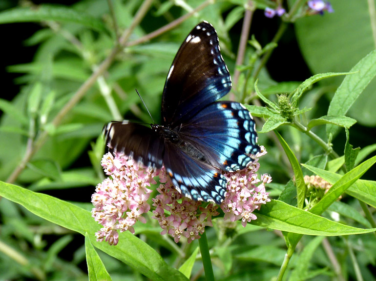 Red-spotted Purple and Marsh Milkweed