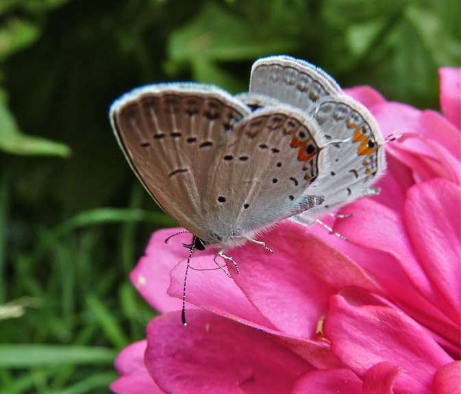 Eastern Tailed-Blue Butterflies
