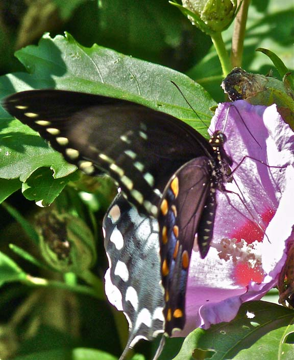 Spicebush Swallowtail at Rose of Sharon