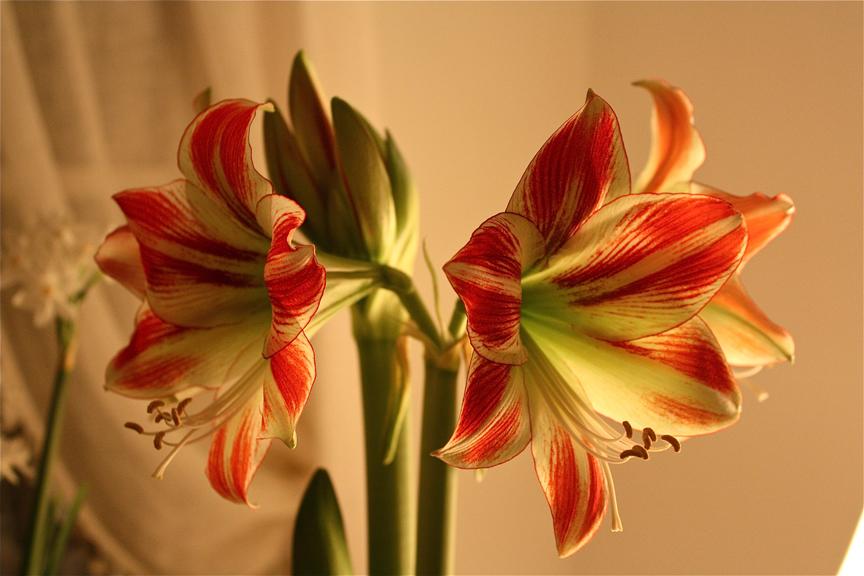 Amaryllis Hippeastrum 'Ambiance'