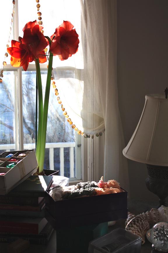 Amaryllis Hippeastrum 'Orange'