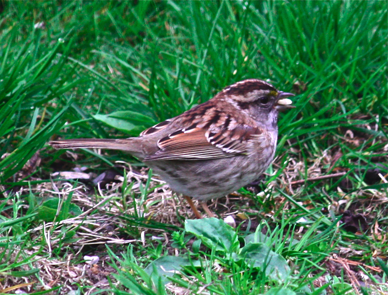 White-throated Sparrow (Zonotrichia albicolli)