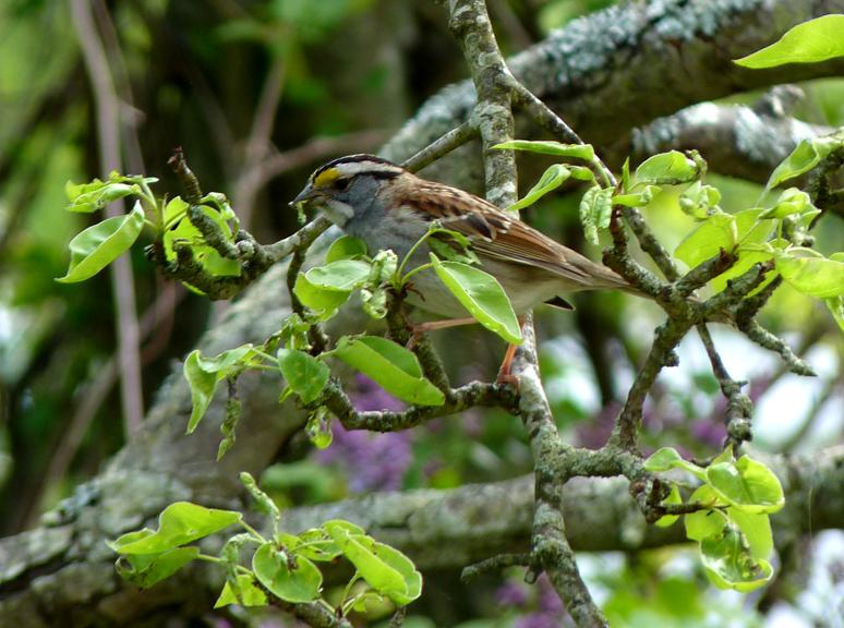 White-throated Sparrow (Zonotrichia albicolli)