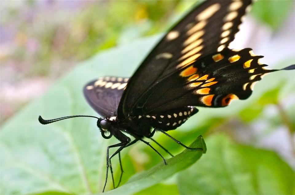 Black Swallowtail Butterfly ©Kim Smith 2011
