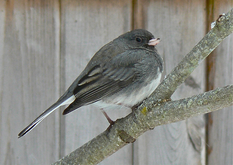 "Dark-eyed Junco ""Snowbird"""