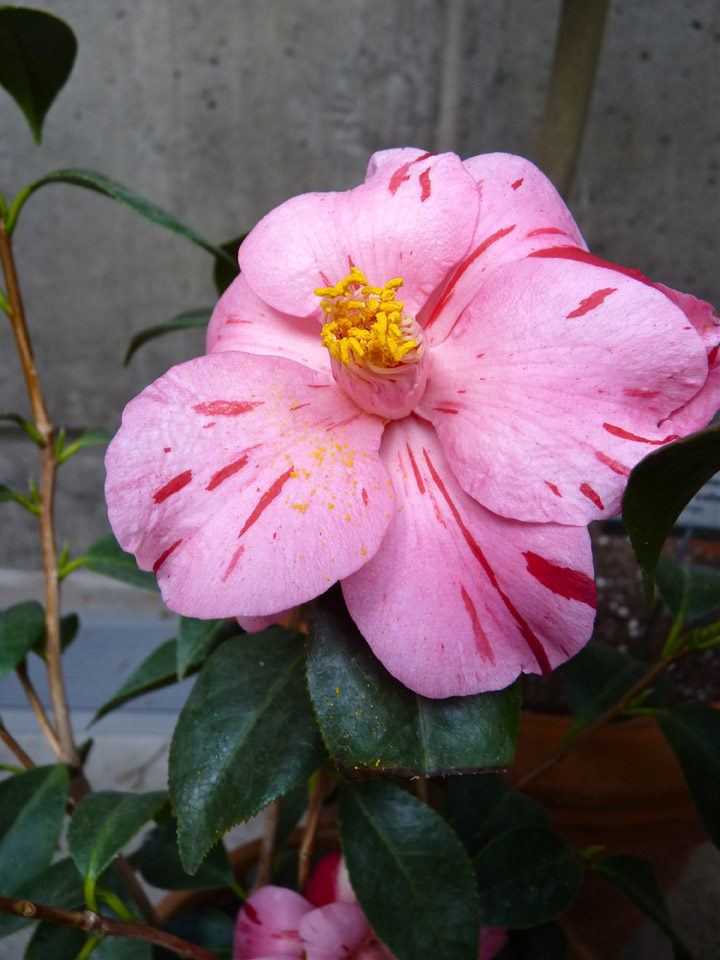 Camellia 'Haru-no-utena' in bloom at Tower Hill Limonaia