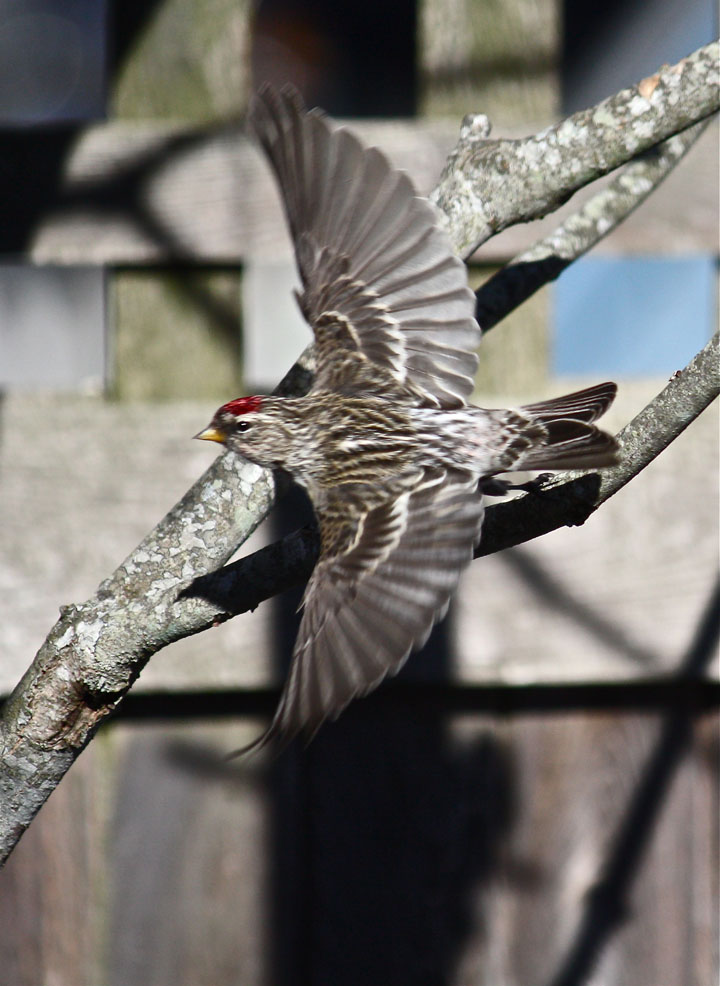 Common Redpoll Wings Spread