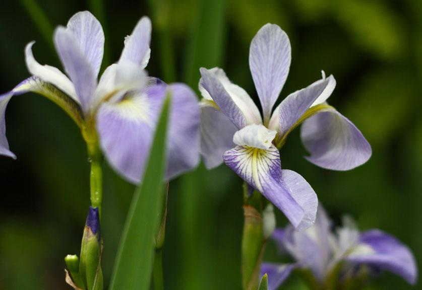 Iris versicolor at Willowdale Estate