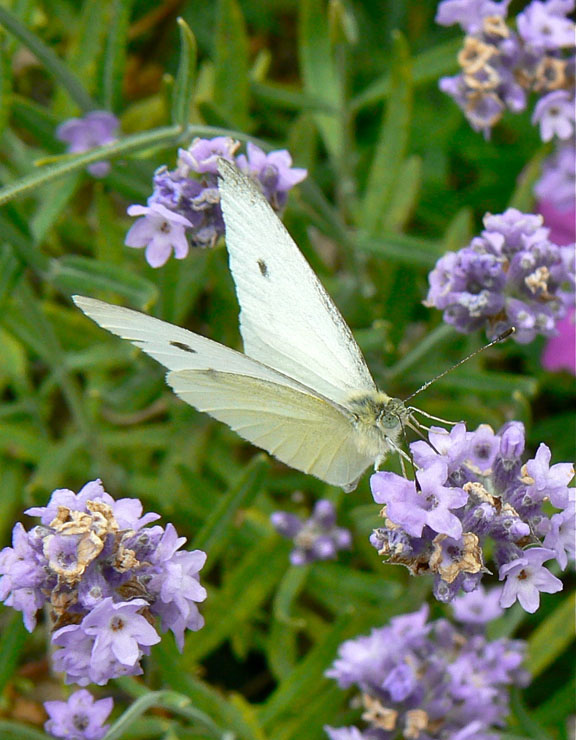 Lavender and Cabbage White Butterfly at Willowdale Estate