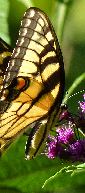 Eastern Tiger Swallowtail and New York Ironweed  (Vernonia noveboracensis)