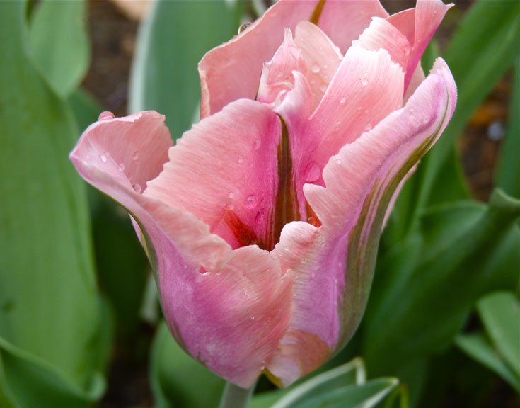 Viridiflora Tulip 'Greenland' at Willowdale Estate.