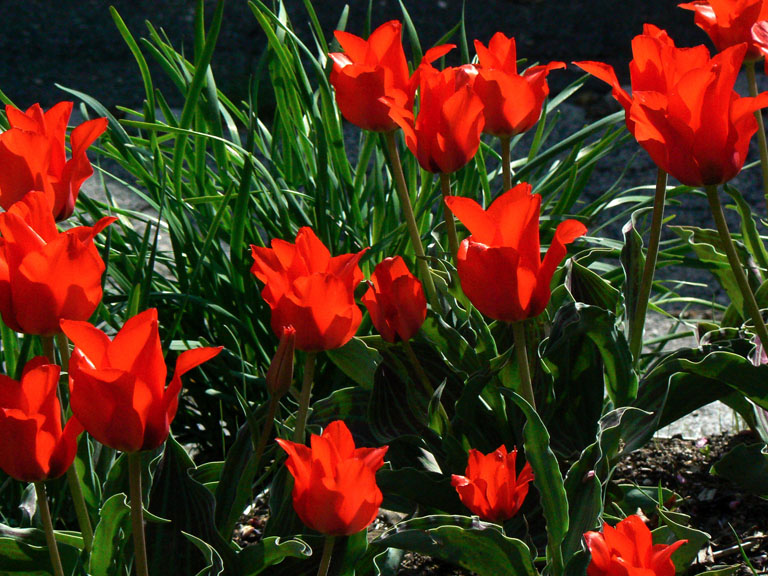 Red Riding Hood Tulip gregii