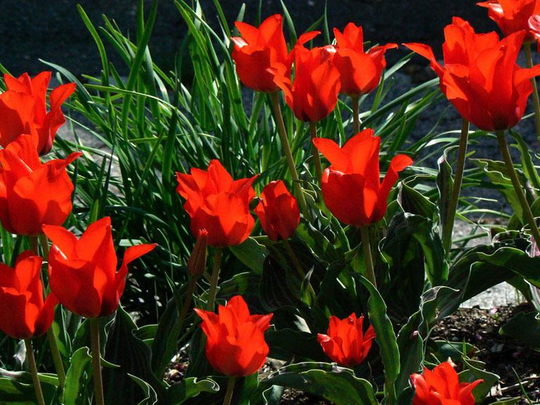 Red Riding Hood Tulip gregii