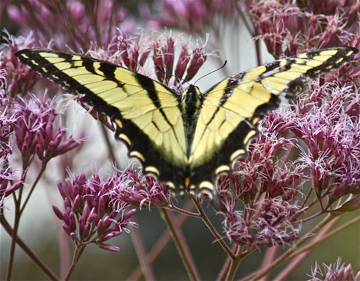 Joe-pye Weed and Eastern Tiger Swallowtail