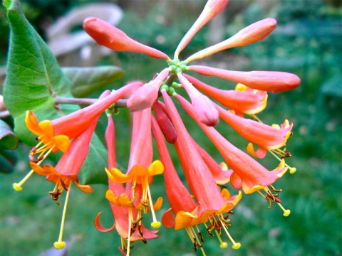 Native Honeysuckle Lonicera 'Dromore Scarlet'
