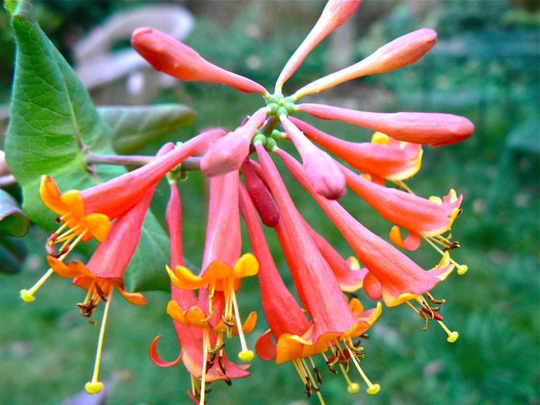 Native Honeysuckle Lonicera 'Dromore Scarlet'