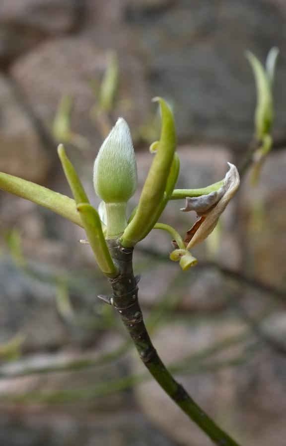 Magnolia virginiana bud Fujifilm x100