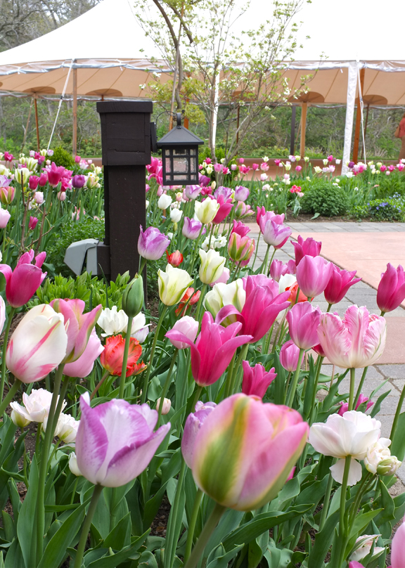 Tulipomania at Willowdale