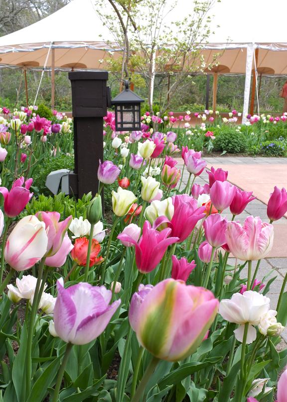 Tulipomania at Willowdale