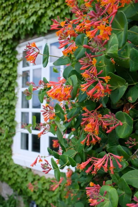 Lonicera 'Firecracker' Eastern Point Yacht Club Garden Tour Gloucester MA