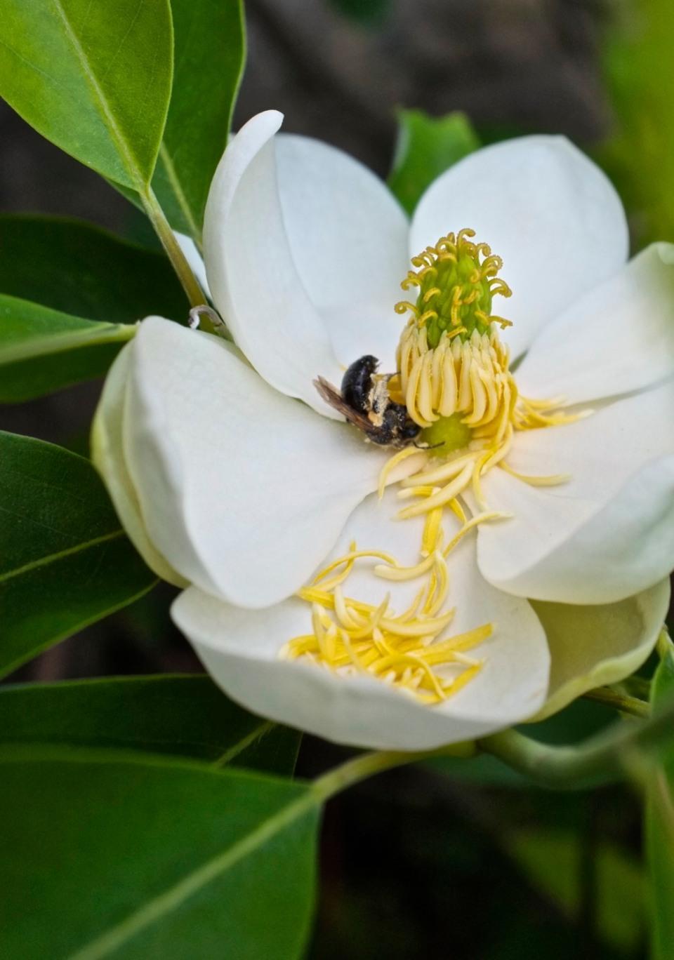 Sweetbay Magnolia virginiana Gloucester Massachusetts Fujifilm x100
