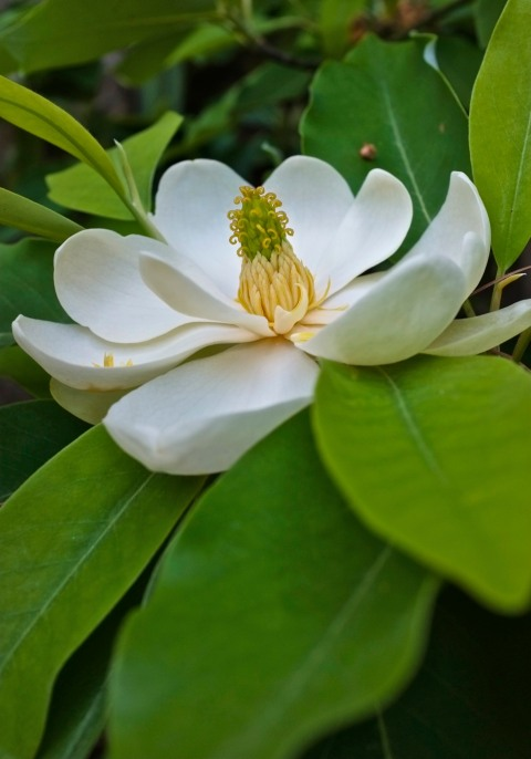 Sweetbay Magnolia virginiana Gloucester Massachusetts