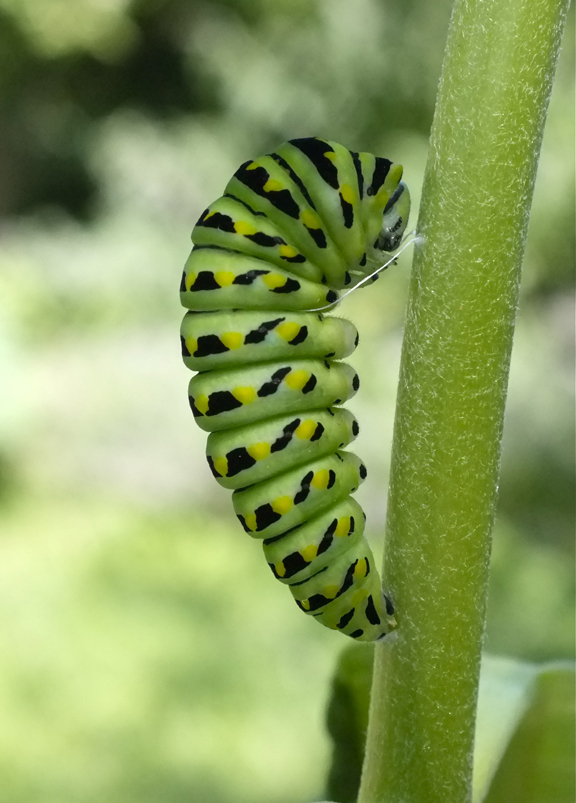 Black Swallowtail caterpillar   Kim Smith Designs Black Swallowtail Caterpillar
