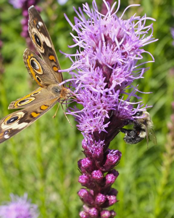Common Buckeye and bee nectaring at native Gayfeather (Liatris spicata)