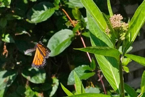Monarch Butterfly Marsh Milkweed