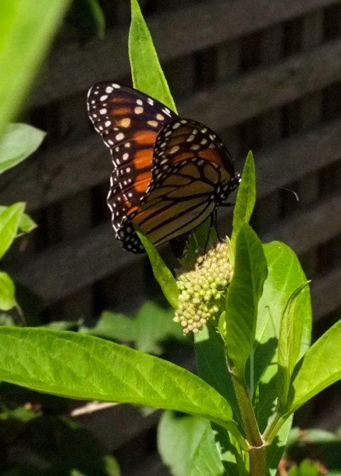 Monarch Butterfly depositing egg on Marsh Milkweed