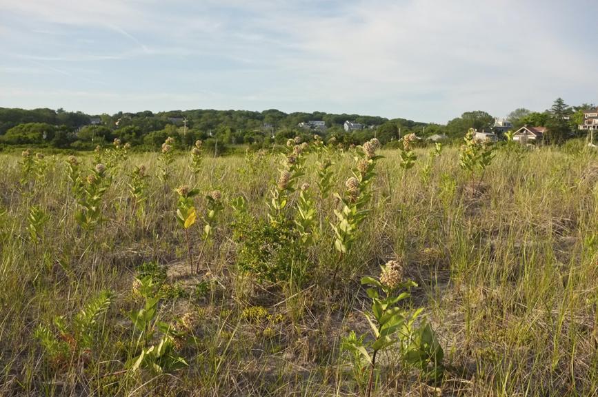 ommon Milkweed Asclepias syriaca Good Harbor Beach Gloucester