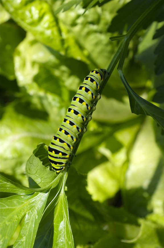 Eastern Black Swallowtail Butterfly caterpillar