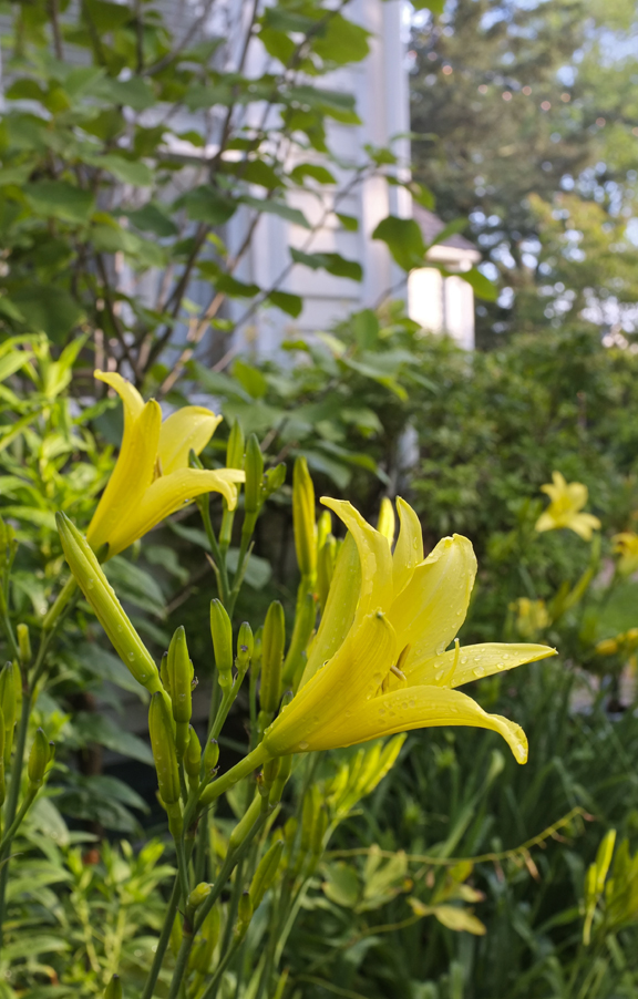 Fragrant Yellow Daylily Hyperion