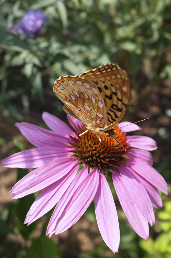 Great Spangled Fritillary Nectaring on Coneflower at Willowdale Estate