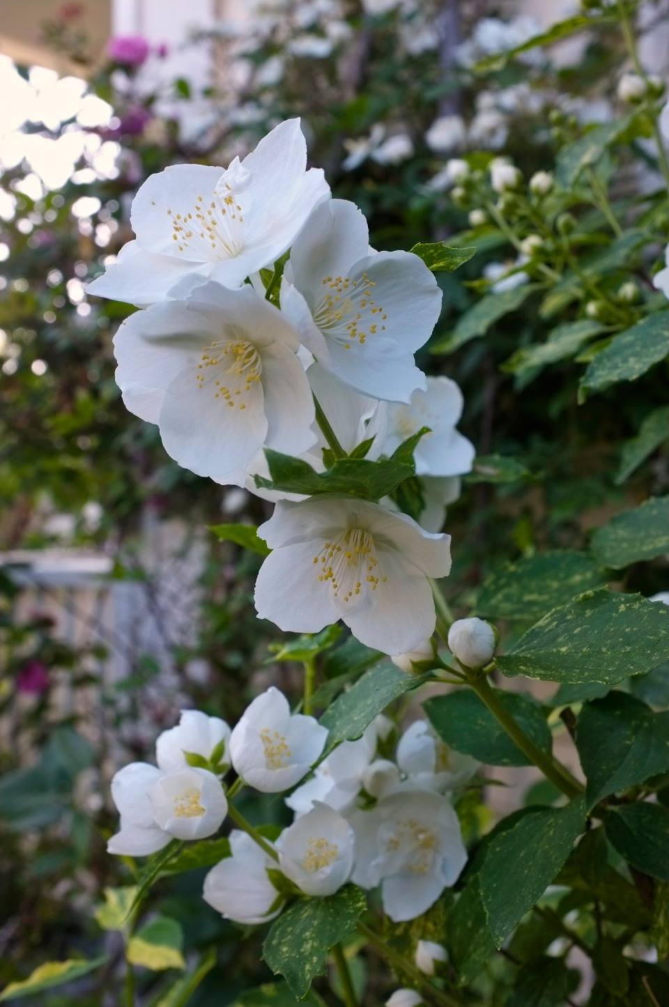 Variegated Mock Orange Philadelphus Fujifilm x100