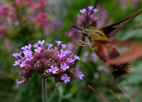 Verbena and Hummingbird Clearwing Moth