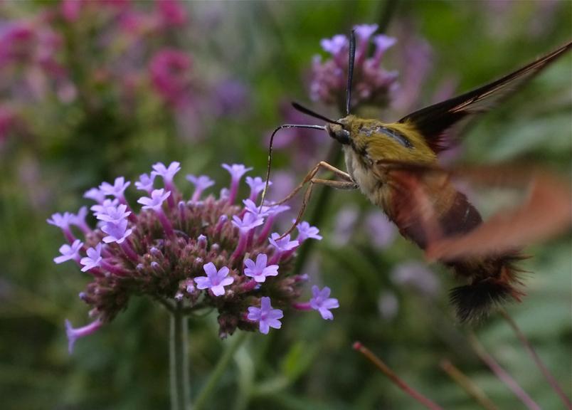 Verbena and Hummingbird Clearwing Moth