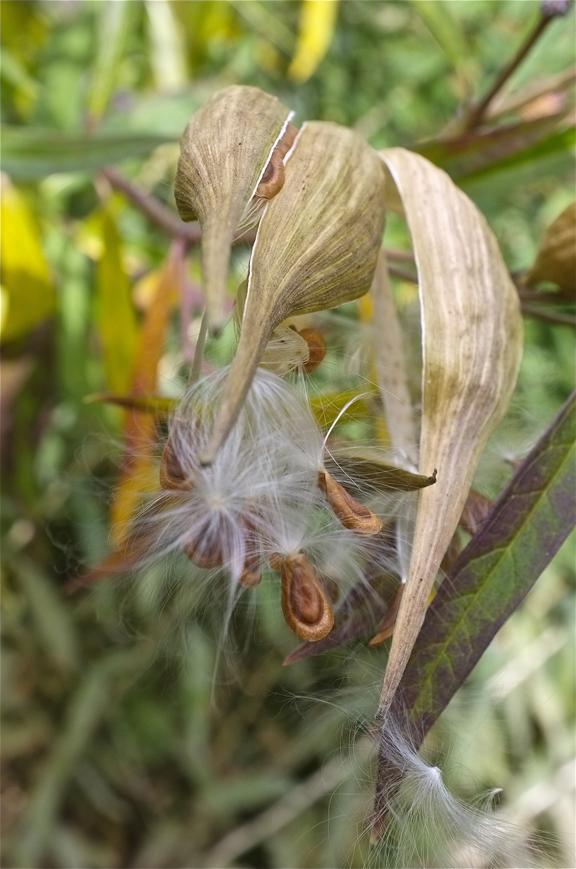 Marsh Milkweed Seeds Asclepias incarnata