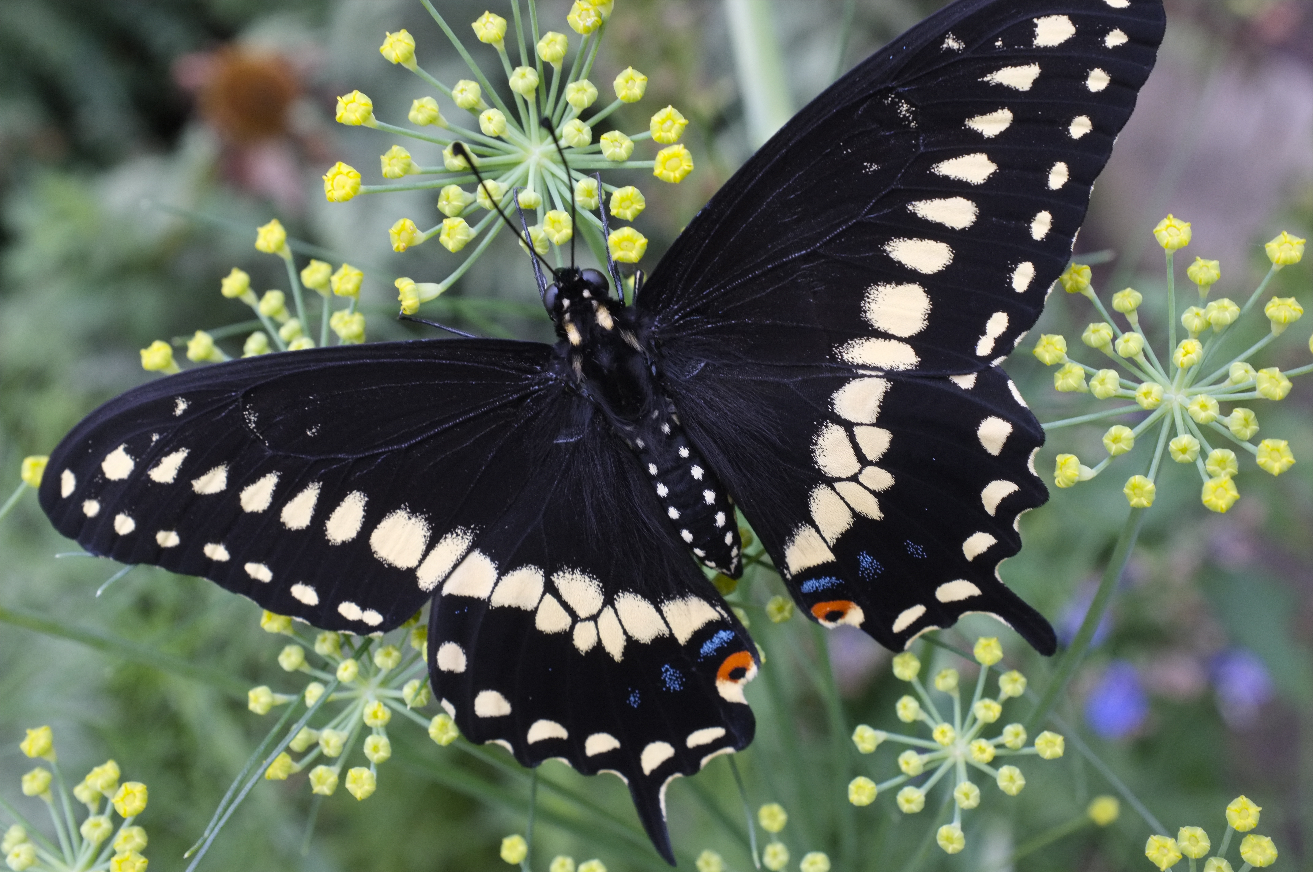 Black Swallow Butterfly 53